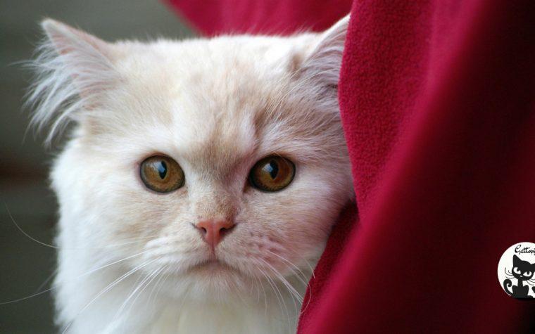 Caratteristiche principali e descrizione del gatto domestico